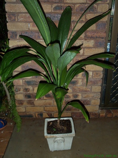 broad_leaved_palm_lily Broad Leaved Green Plant House on narrow leaved plants, tall leaved plants, large leaved plants, common plants, fine leaved plants, small leaved plants, gray leaved plants, rain forest plants, wide leaf plants,