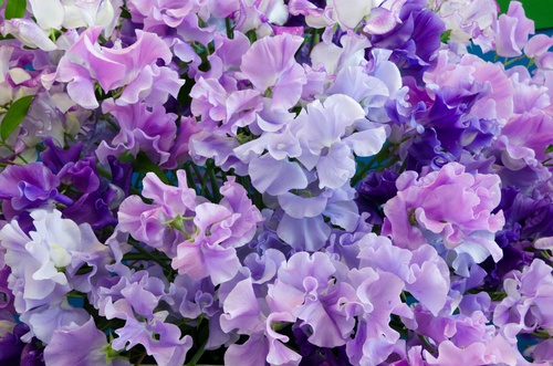 Grow your own flowers: sweet peas | 1 Million Women