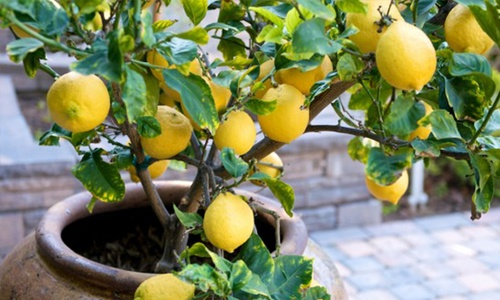how to grow your own lemon tree from seed 1 million women. Black Bedroom Furniture Sets. Home Design Ideas