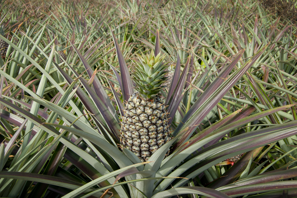 How To Grow Pineapple From Tops 1 Million Women