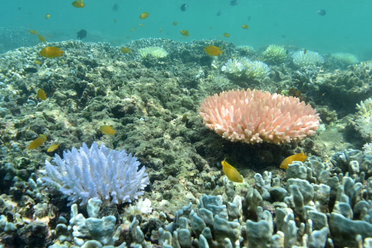 how can the great barrier reef recover from coral bleaching 1