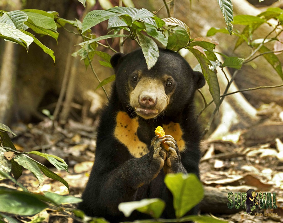 Palm Oil At Its Worst The Hairless Sun Bear Has Passed