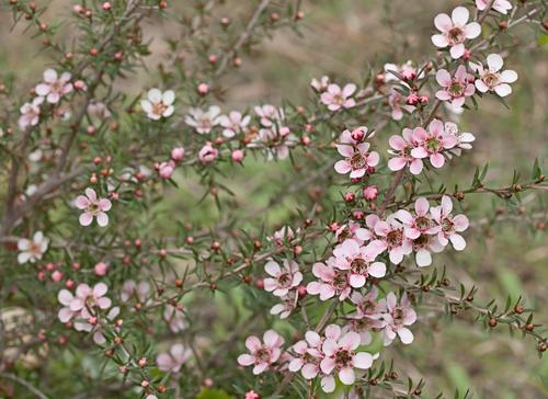 Top Ten Flowers To Plant In Your Garden To Attract Native Australian