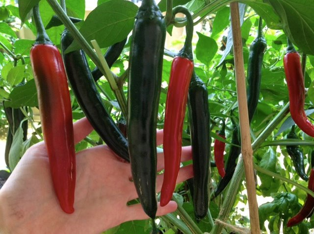 how to grow chillies from seeds at home