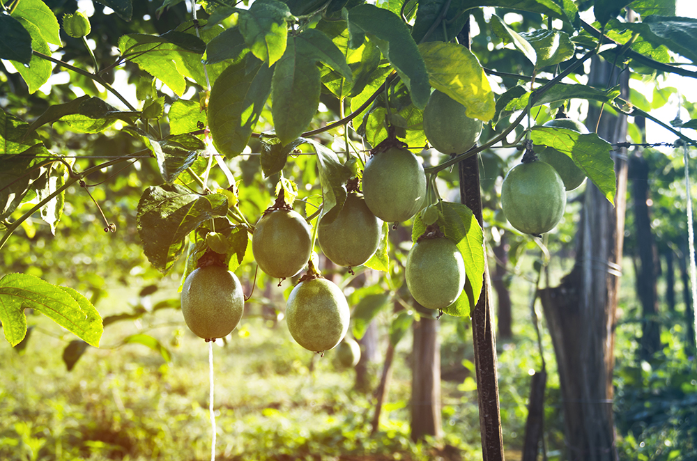 How To Grow Passionfruit From Seeds 1 Million Women
